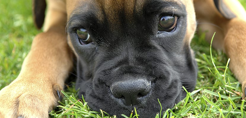 Perro Bóxer