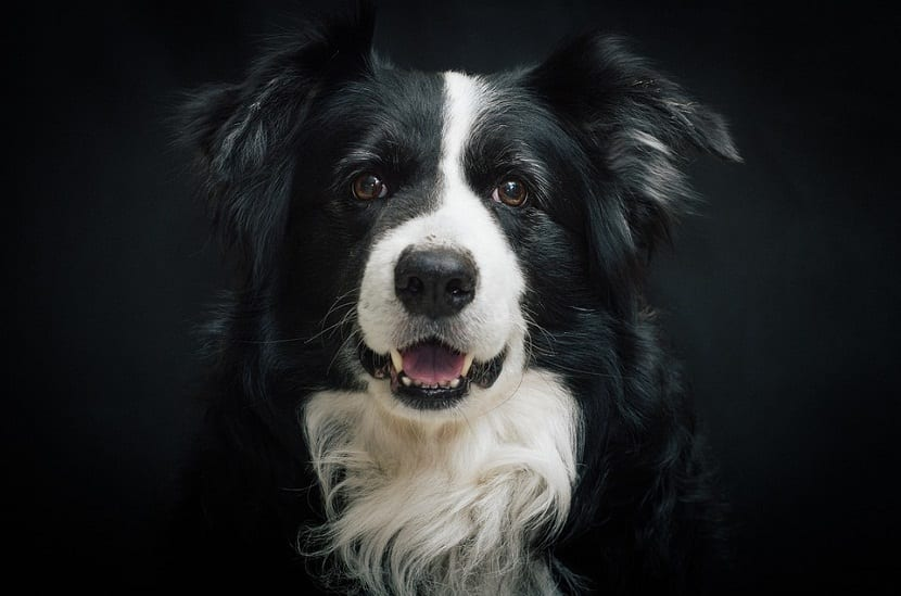 retrato de un Border collie con fondo negro