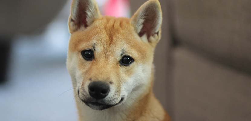 Cachorro de Shiba Inu