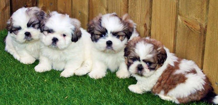 Cachorros de Shih Tzu