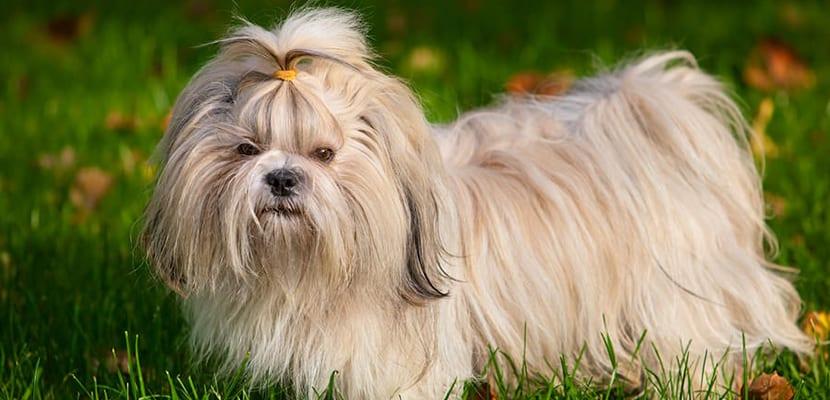 Shih Tzu dorado de pelo largo