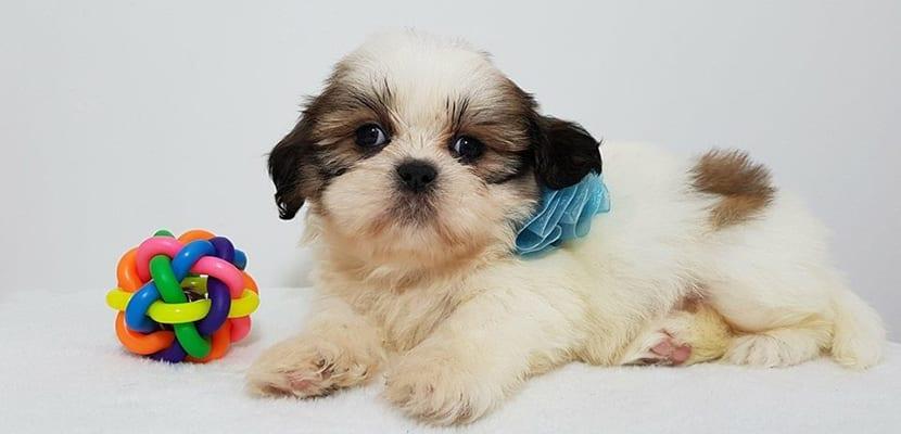 Cachorro de Shih Tzu