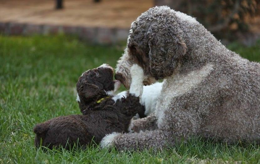 cachorro jugando con perro