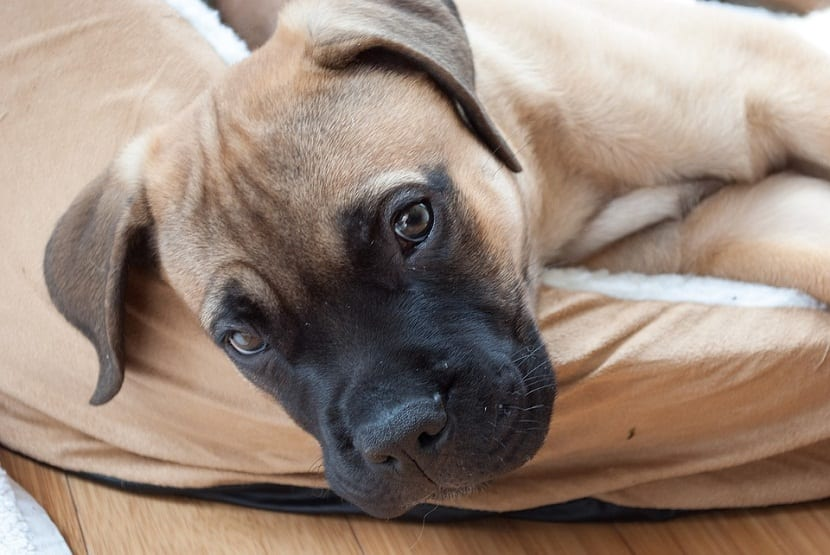 cachorro mezcla mastin de nombre Bullmastiff