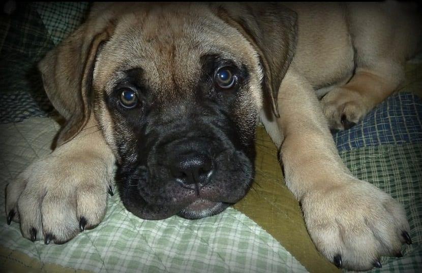 cachorro raza Bullmastiff en sofa