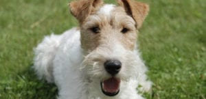 Fox Terrier en el campo