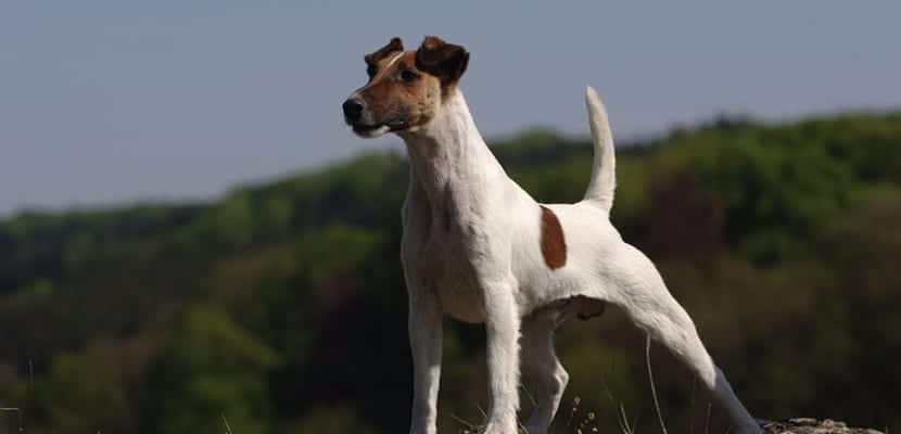 Fox Terrier de pelo liso