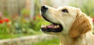 leishmaniasis canina