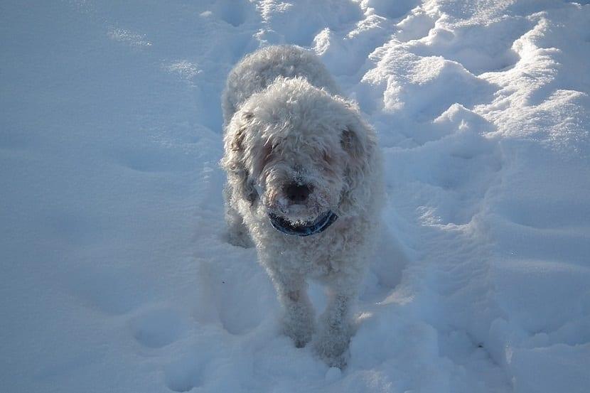 perro de agua de color blanco