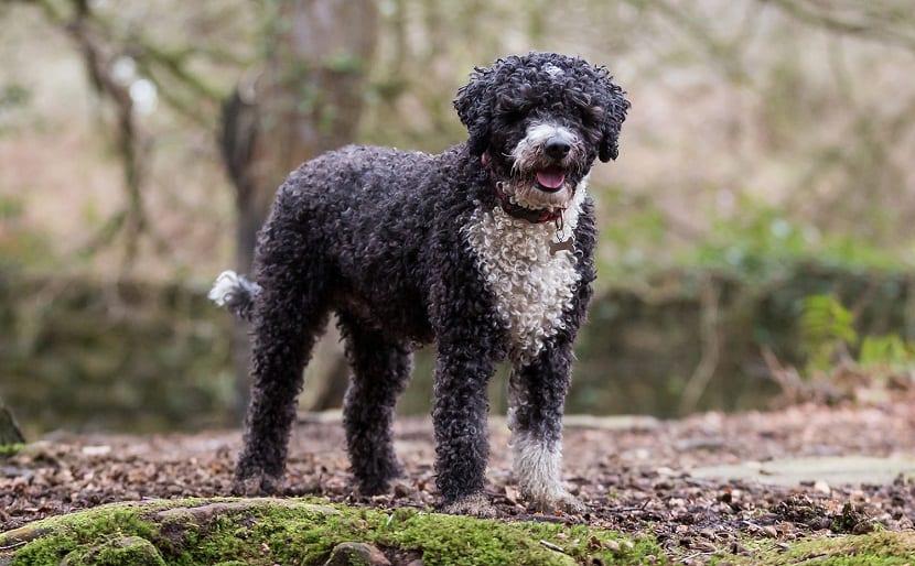 perro de agua marron y blanco