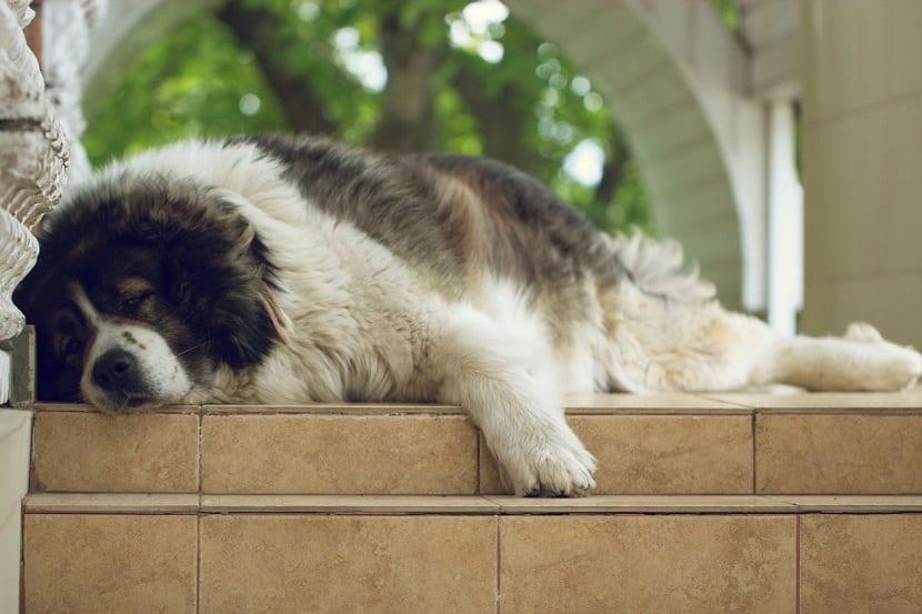 perro de gran tamaño tumbado en el suelo