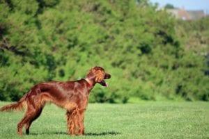 perro de pelo largo llamado setter irlandes