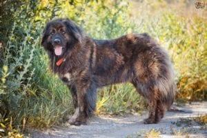 perro marrón de raza grande llamado pastor causico