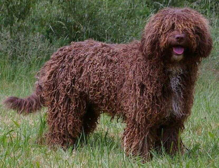 perro marron con pelo como rastas