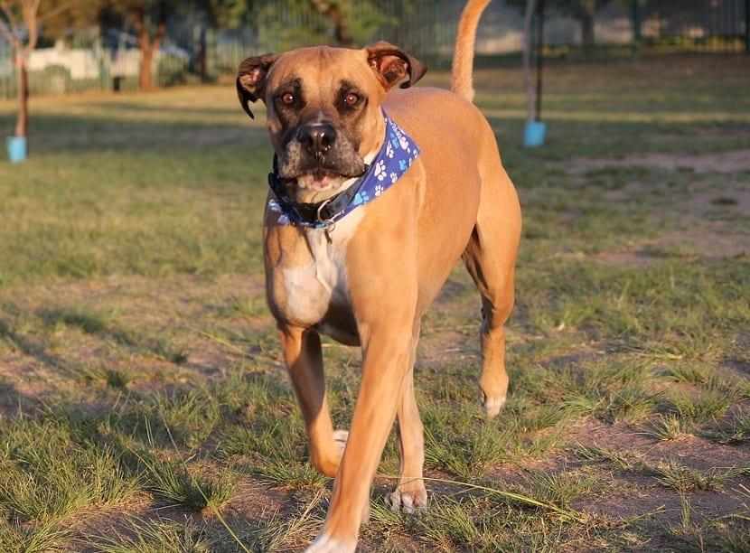 perro raza Bullmastiff con pañuelo