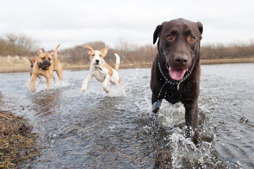 tres perros corriendo en un rio