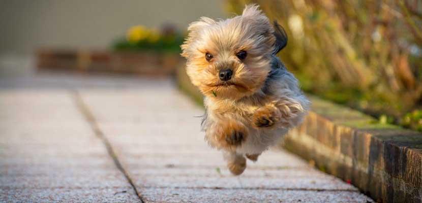 Yorkshire Terrier corriendo