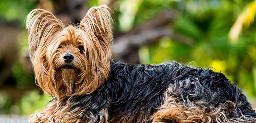 Pelaje del Yorkshire Terrier