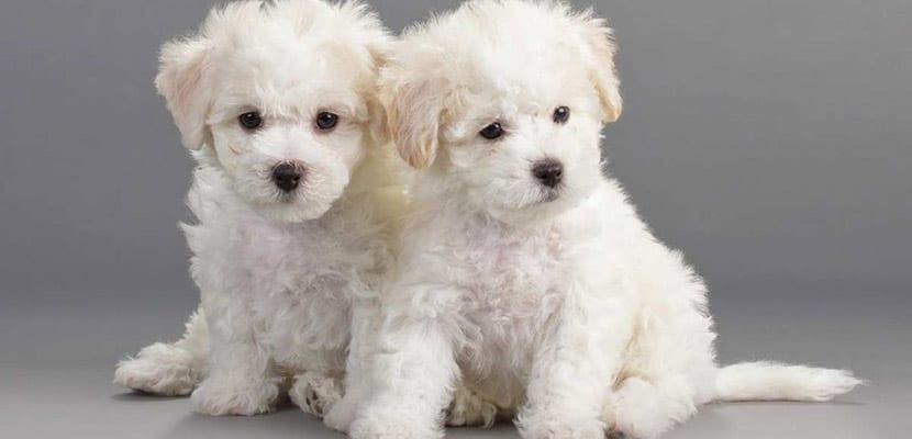 Cachorros de Bichón frisé