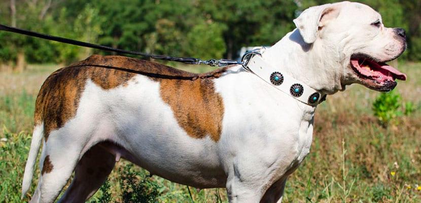 Bulldog americano en el campo