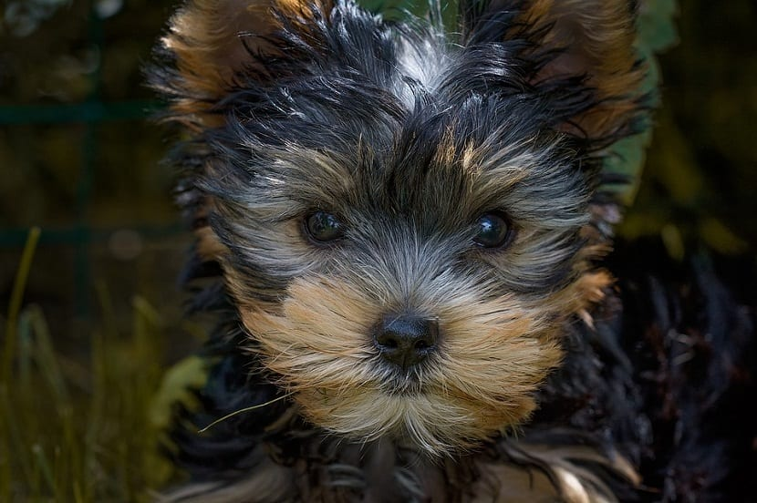 cachorro de pequeño toy