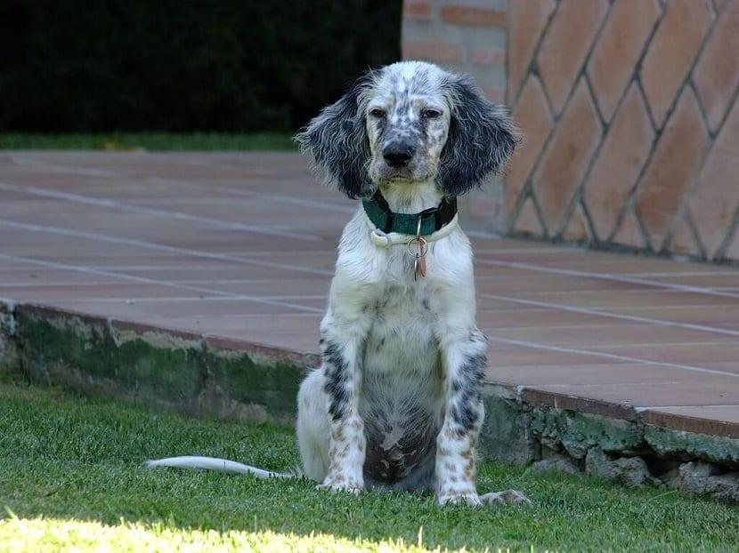 cachorro de Setter ingles sentado