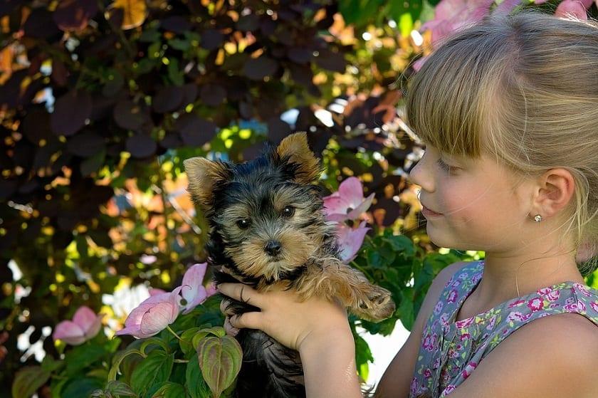 niña sujetando a un cachorro de perro de raza Yorkshire terrier