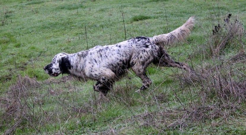 perro Setter ingles en posición de caza