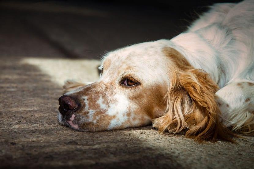 perro con la barbilla en el suelo y pensativo