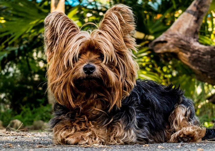perro de tamaño pequeño y pelo largo