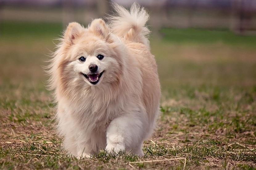 perro pequeño con pelo largo corriendo