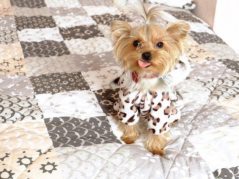 perro pequeño encima d euna cama y con la lengua fuera