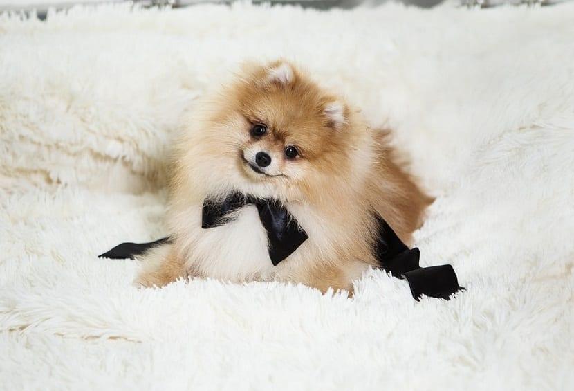 perro tamano pequeño con lazo negro