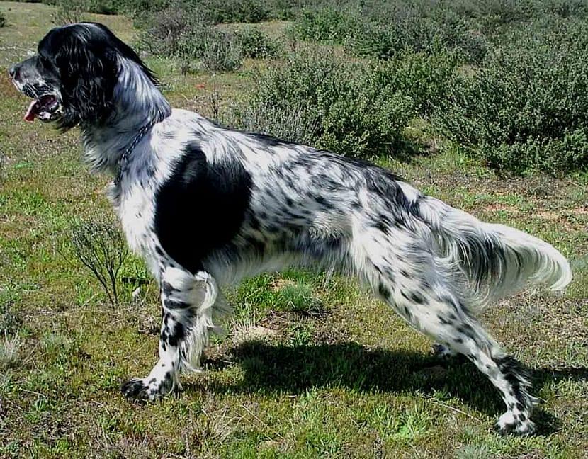 postura del perro de caza Setter ingles