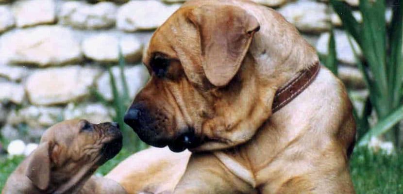 Tosa Inu con cachorro