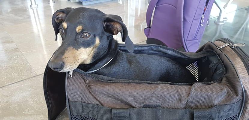 Perro en su transportín