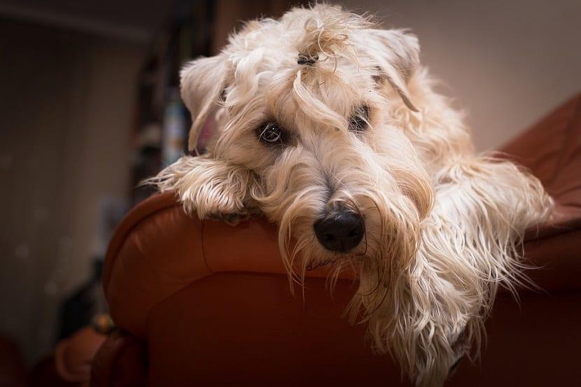 cabeza de terrier apoyado en el brazo de un sofa