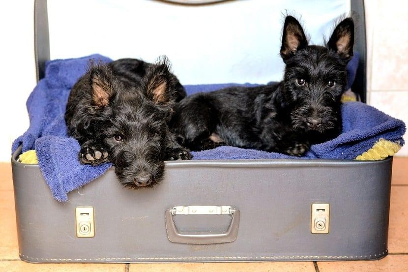 dos cachorros de la raza terrier descansando encima de una maleta