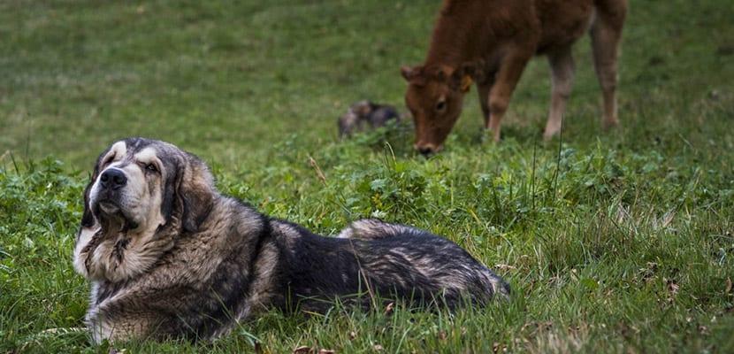 Mastín en el campo