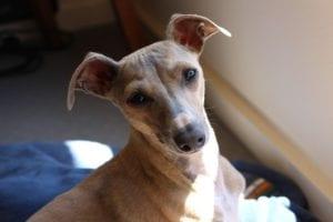 mirada de perro de ojos y orejas grandes llamado Galgo italiano