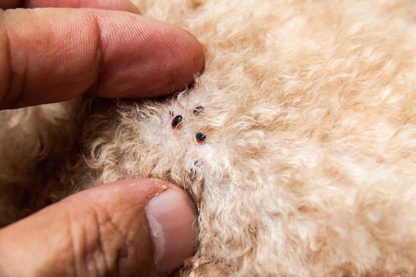 pequeñas pulgas enganchadas en la piel de un perro de pelo corto