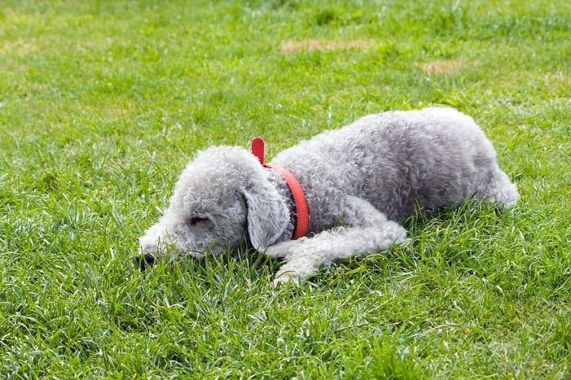 perro con el cuerpo y la cara sobre la hierba de un color grisaceo