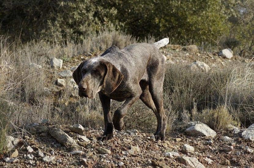 perro de caza andando entre piedras en posicion de caza