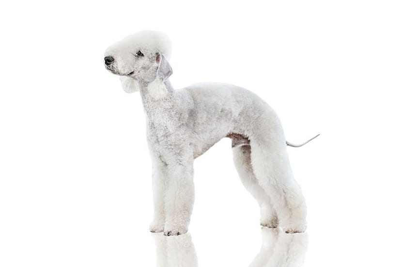 perro de color blanco con el pelo del lomo mas corto que el resto