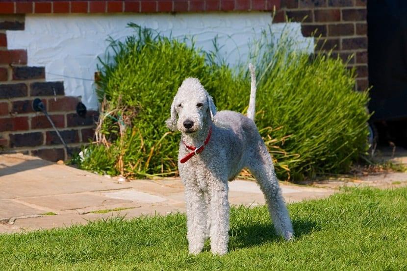 perro de cuerpo esbelto y patas largas