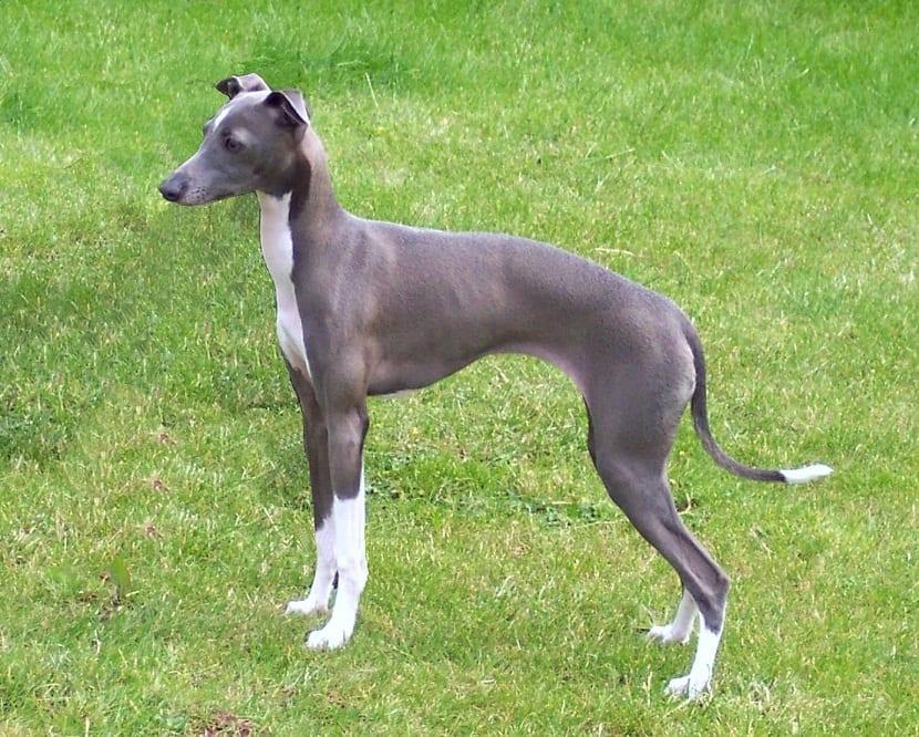 perro de no gran tamaño con patas de color blanco y el cuerpo de un color grisaceo