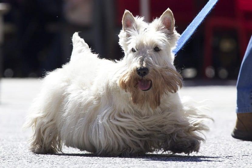 perro de raza terrier de color blaco con pelaje largo paseando con su dueno