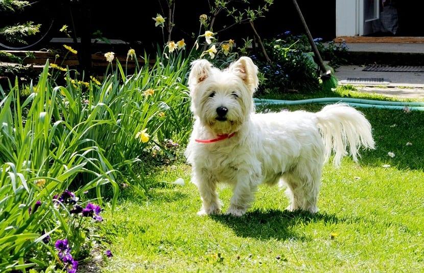 perro de tamaño pequeño de color blanco en un jardin