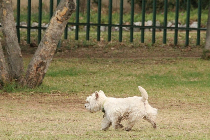 perro de tamaño pequeño y blanco corriendo por un parque