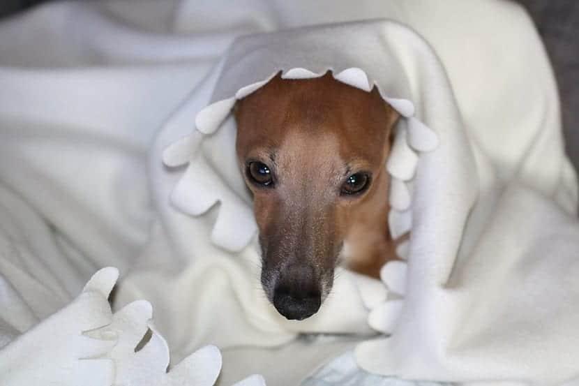 perro metido en una manta y donde solo se le ve la cabeza